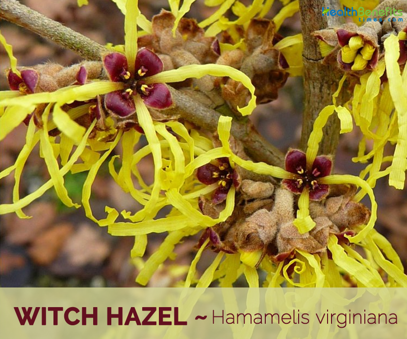 Cosmetic Grade Witch Hazel Extract Liquid Hamamelis Virginiana Alcohol-free Natural Floral Water Toner for Skin Care New