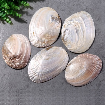 ISEVIAN 15cm-20cm DIY Home Decoration Polished Abalone Shell Natural Conch Craft Sea Beach Raw Abalone Shell