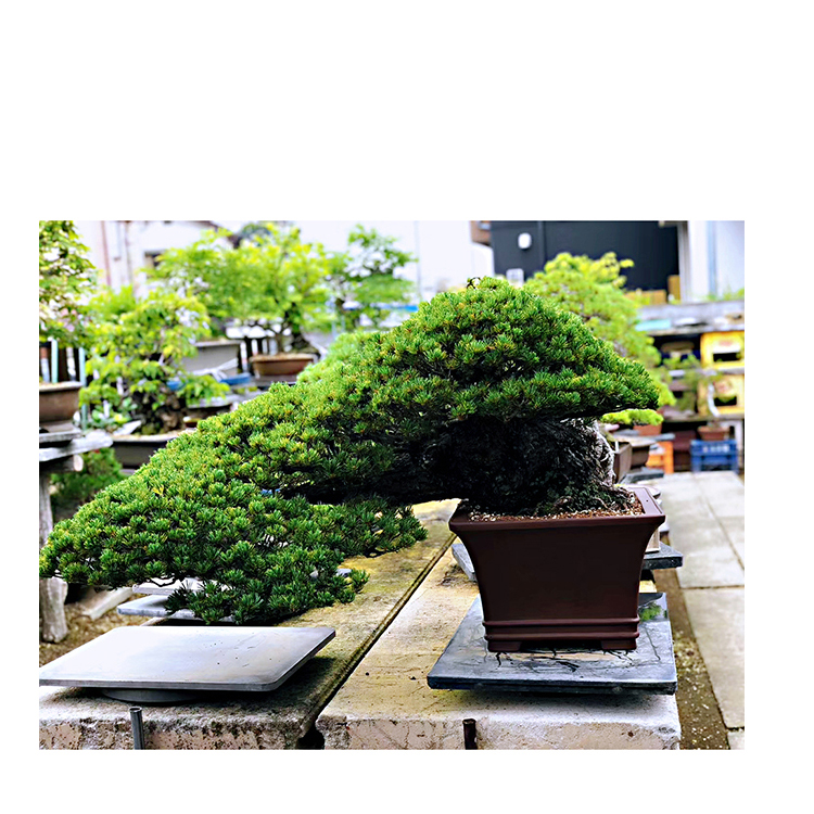 Export Bonsai Trees For Indoors Sale Can Be Enjoyed By A Wide Range Buy Bonsai Trees For Sale Bonsai Trees For Indoors Bonsai Trees For Indoors Sale Product On Alibaba Com