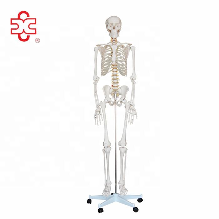 Life-Size 180cm Human Skeleton Anatomical Model