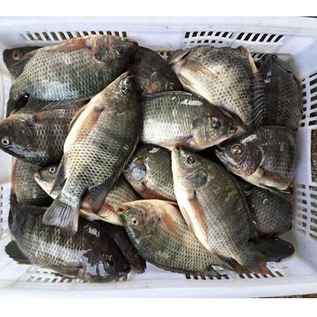 Замороженная Тилапия, поставщик рыбной фермы