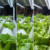 indoor plants led grow light for lettuce growth