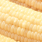 Yellow Corn Yellowcorn Production Of Fresh Yellow Corn Sweet Corn Yellow Maize Wholesale
