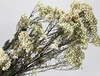 xiaomihua flower