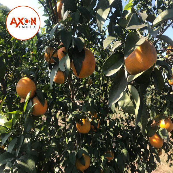 Citrus Fruits/Mandarin Orange/Fresh Orange/List of Yellow Fruits