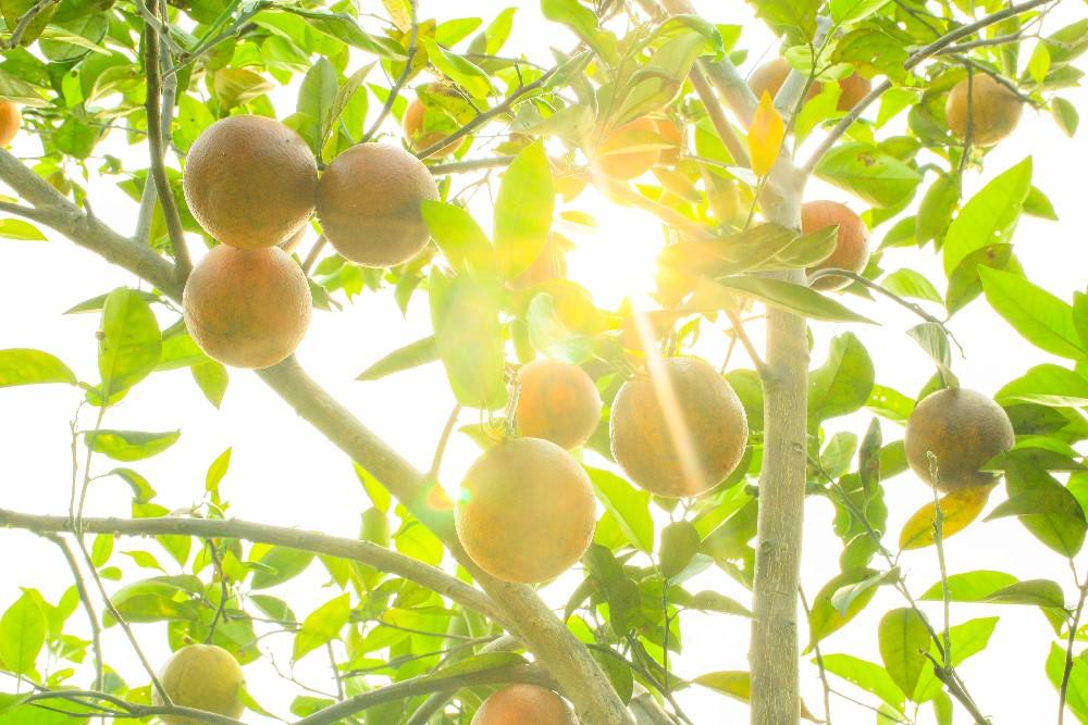 Fresh Orange/ Fresh Valencia Oranges/ Lasuco