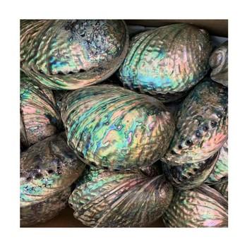 Best Price Big promotion new zealand paua shell abalone in stock from Vietnam supplier +84339018083 WA