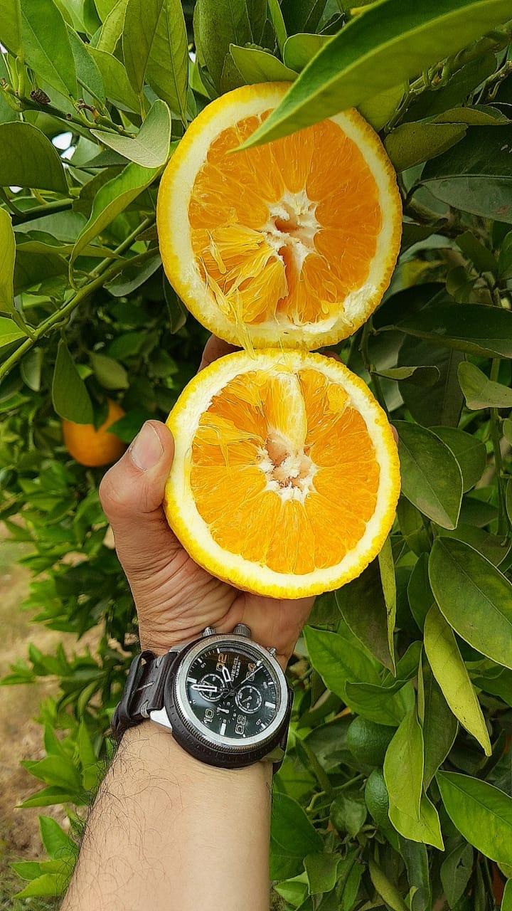 Fresh Egyptian Valencia Orange Fruit For Export