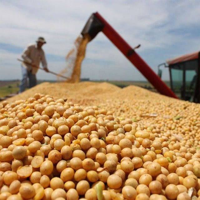 NON GMO Soybeans For Human Consumption