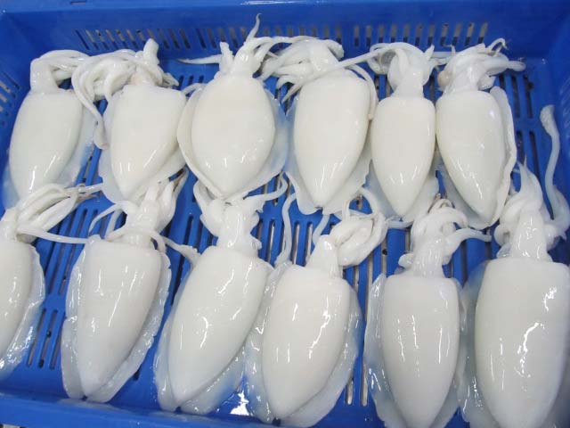 Good Quality Indian Cuttlefish Whole Cleaned Sepia sp