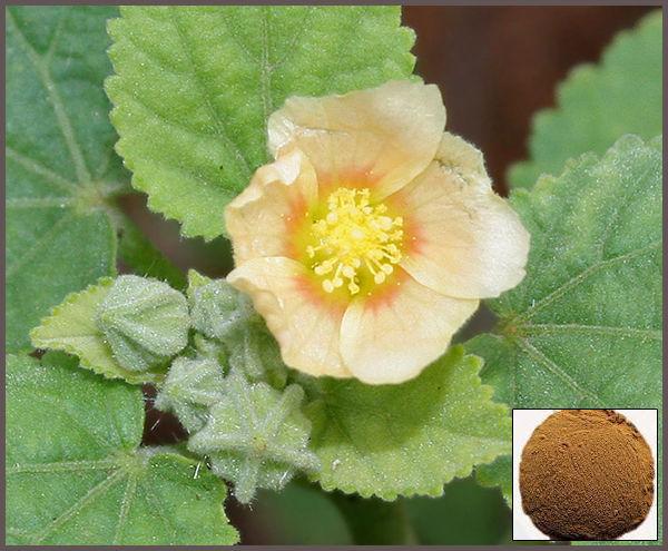 sida cordifolia fat burner)