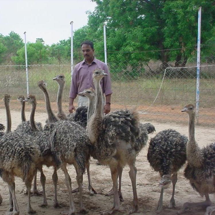 Ostrich Chicks. Live Ostrich Birds for sale