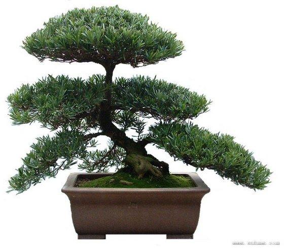 Podocarpus Bonsai Money Three Buy Landscaping Podocarpus Bonsai Tree Podocarpus Bonsai Tree Ficus Bonsai Product On Alibaba Com