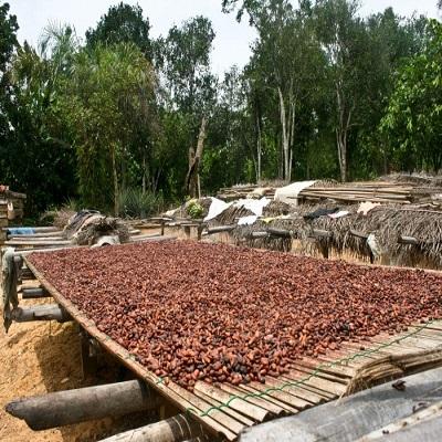 Какао бобы для продажи
