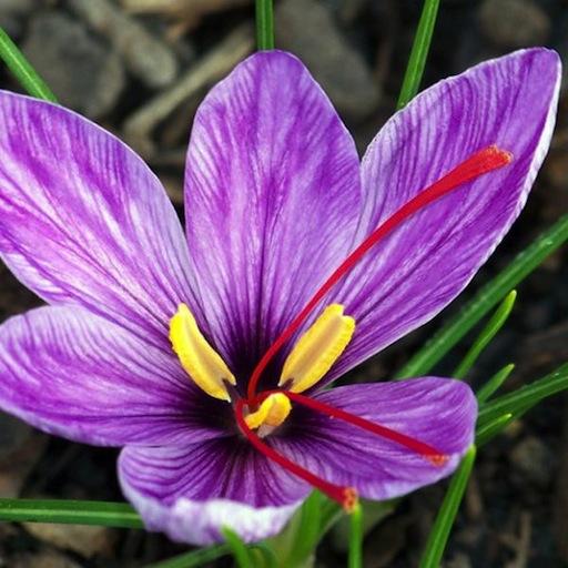 Crocus sativus Stigma ( Saffron )