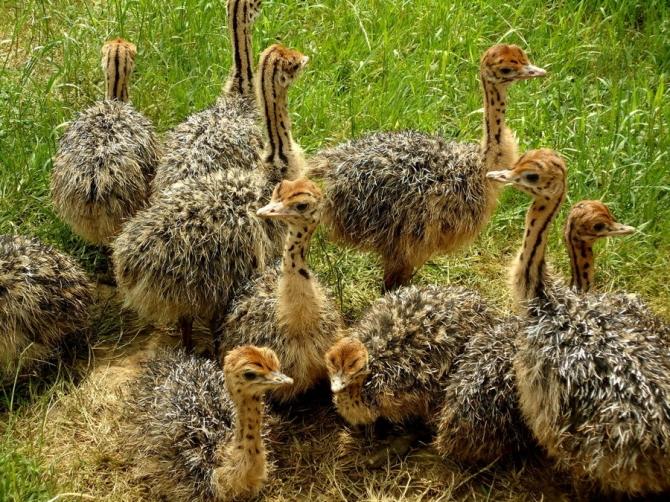 Распродажа плодородных страусиных яиц и цыплят