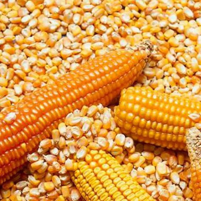 الذرة الصفراء للاستهلاك البشري أوكرانيا Buy Yellow Corn Chicken Feed Dried Corn For Sale Yellow Corn For Animal Feed Product On Alibaba Com