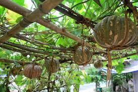 Best quality fresh pumpkin/ Vietnamese fresh pumpkin ( MS.HOLIDAY Whatsapp +84-845-639-639)