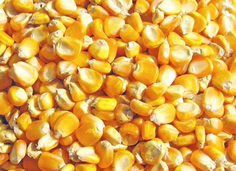 الأصفر الطبيعي المجففة الذرة الذرة الصفراء الذرة للعلف Buy Yellow Corn Usa Yellow Corn Brazil Yellow Corn Specifications Product On Alibaba Com