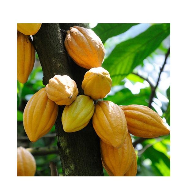 Органические необработанные какао-бобы экспортируются в ЕС, США, ОАЭ и т. д.-высококачественный какао-порошок для приготовления шоколада по низкой цене-какао-бобы