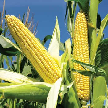 100% Fresh Indian Yellow Corn Price from Biggest Yellow Corn Supplier