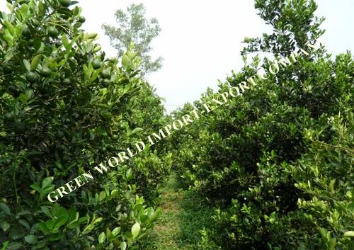 DRIED KUMQUAT/ CALAMANSI FRUITS FROM VIETNAM WITH PREMIUM QUALITY! BEST SELLER FOR TEA/ DETOX